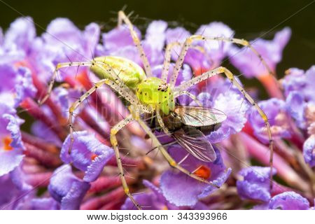Beautiful Peucetia viridans, Green Lynx spider, eating a fly while sitting on top of light violet Buddleia flowers