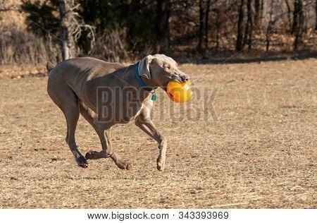 Weimaraner dog running, carrying an orange ball while playing outdoors