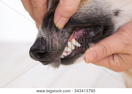 Closeup Dog Tooth Decayed, Show Dirty Teeth, Sign Of Dental And Gum Disease In Dog, Unhealthy Dog Mo