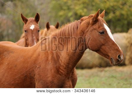Thoroughbred Young Horse Posing At Rural Equestrian Farm. Portrait Of A Purebred Young Horse Outdoor