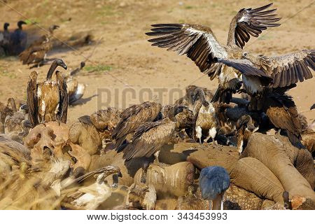 A Flock Of White-backed Vulture (gyps Africanus) Feeding On A Large Elephant By A River. Carrion Sca