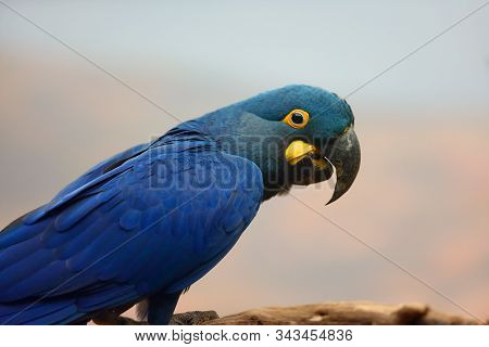 Lear's Macaw (anodorhynchus Leari), Also Known As The Indigo Macaw, Portrait With White Background.