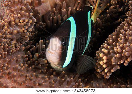 Anemonefish (clownfish) In An Anemone. Anilao, Philippines