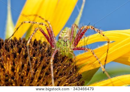 Beautiful female Green Lynx spider on top of a Sunflower waiting for prey