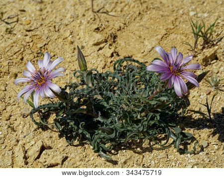 Rare Flowers Among The Sparse Vegetation In The Kazakh Steppes.