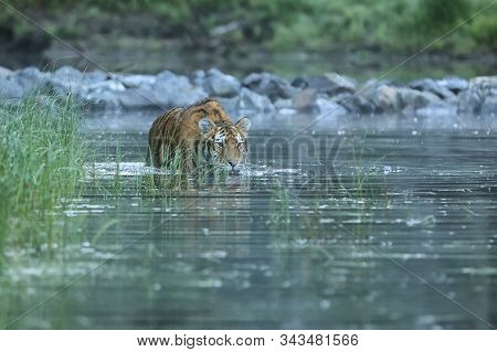 Siberian Tiger Is Reddish-rusty, With Narrow Black Transverse Stripes - Panthera Tigris Altaica