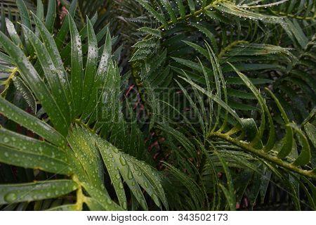 Wet Tropical Green Cycad Leaves (encephalartos Sp.), Pretoria, South Africa