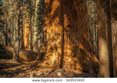 Ancient Giant Sequoia. Sequoiadendron Giganteum Also Known As Giant Redwood, Sierra Redwood, Sierra