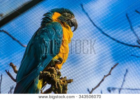 Closeup Of A Blue Throated Macaw Parrot Roosting, Critically Endangered Bird Specie From Bolivia