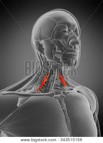 3d rendered medically accurate muscle anatomy illustration - scalene anterior
