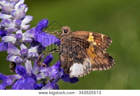 Hoary Edge butterfly feeding on purple Salvia flowers with green summer background