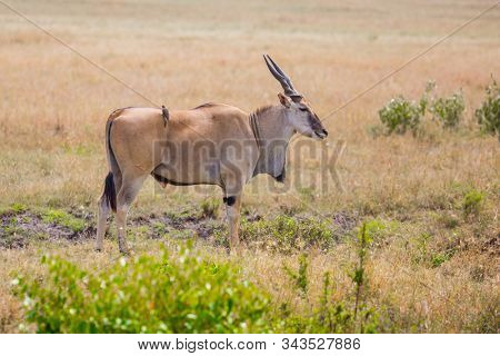 Kenya. The largest antelope in the world - antelope from the bovine family - Eland Kanna. Safari in Masai Mara National Park. Ecological, active and phototourism concept
