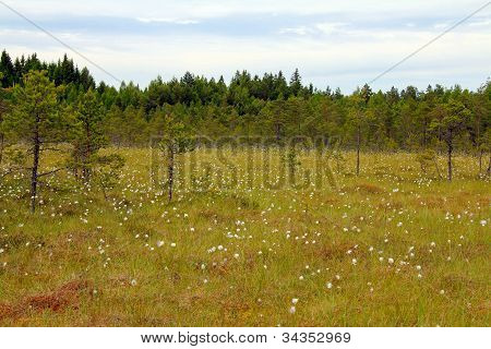 Bog With Cottongrass In Finland