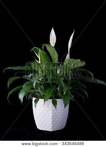 Peace Lily In White Flower Pot On  Black Background Spathiphyllum Houseplant For Valentines Day