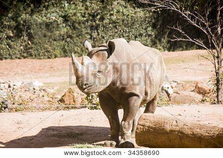Rhino Looking Right