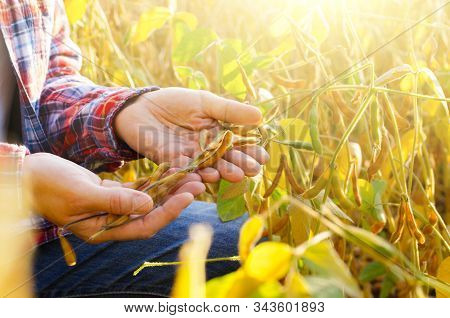 Harvest Ready Soy Pods In Farmer Hands On Field Background Evening Sunset Time