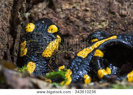 Fire Salamander, Or Salamandra Salamandra Hiding In The Old Primary Forest. Species Under Protection