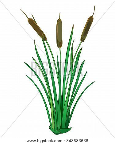 Vector Outline Bulrush Or Reed Or Cattail Or Typha Bunch With Green Leaves Isolated On White Backgro