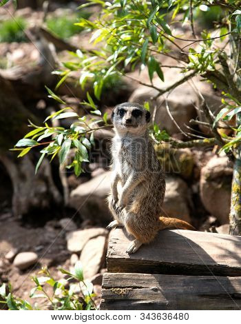 Portrait Of A Meerkat Or Suricate In A Natural Habitat. Meerkat Stands On A Log In The Forest