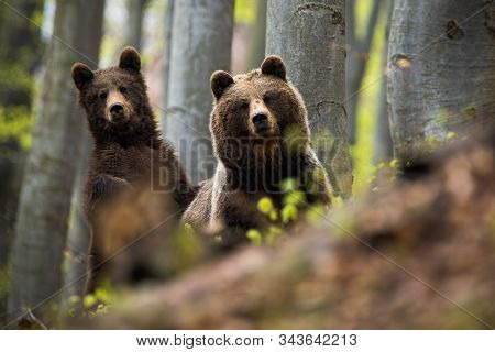 Female Of Brown Bear Together With Her Cub In The Woods