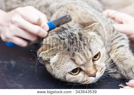 Cat Grooming, Combing Wool. Express Molt. Beautiful Cat In A Beauty Salon. Grooming Animals, Combing