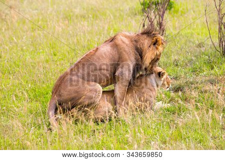 Lion and Lioness mate in tall grass. Jeep - safari in spring in the African savannah. Kenya, Masai Mara Park. Concept of exotic, extreme tourism and photo tourism