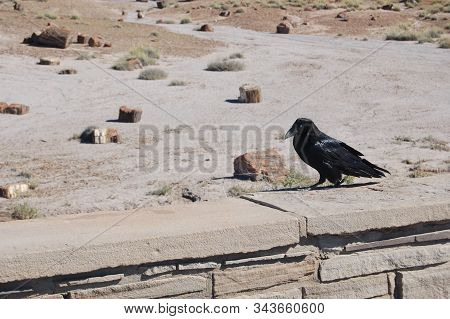 A Raven Walking Along A Stone Wall In The Petrified Forest, Northeastern Arizona.