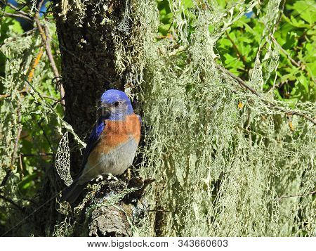 Male, Western Bluebird Perched On A Branch In A Wooded Area Of The San Luis Obispo County, Californi