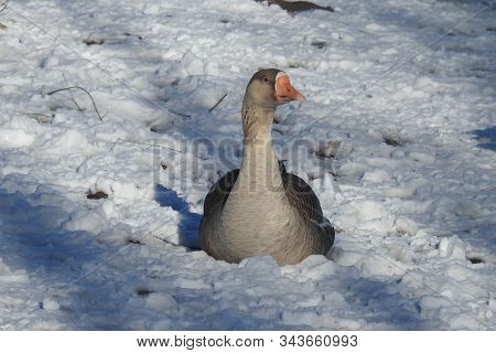 Greylag Goose, Relaxing In The Fallen Snow On The Shores Of Watson Lake, Arizona.