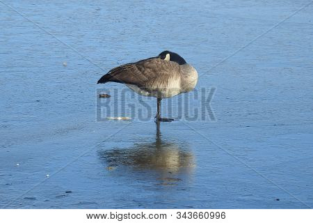 Canada Goose, Standing On One Leg, On The Ice, Of A Partially Frozen Watson Lake, In Prescott, Arizo