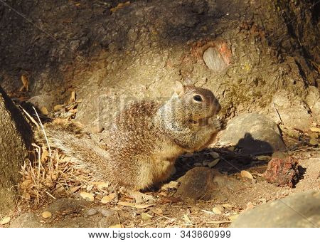 California Ground Squirrel Eating Nuts In The Sequoia National Forest, Potwisha Campground, Californ