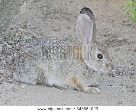 Young Jackrabbit, Carrizo Plain National Monument, Eastern San Luis Obispo County, California.