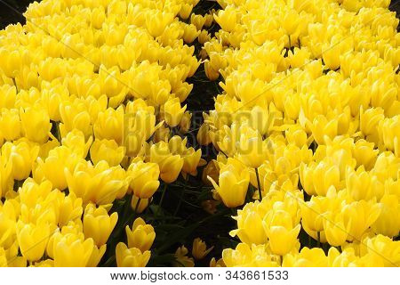 Yellow Tulips Bloomed In The Skagit Valley, Washington State.