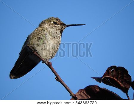 Tiny Hummingbird Perched On A Thin Branch, Under A Blue Sky, In Sunny Southern California.