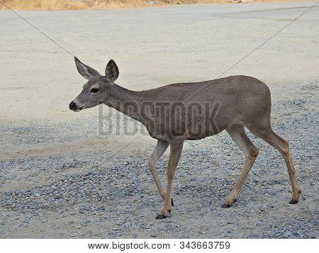Mule Deer Doe Enjoying Her Day In Sequoia National Park, Kings Canyon, Potwisha Campground, Californ