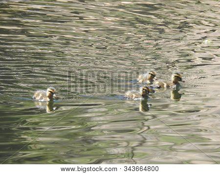 Baby Ducklings Swimming Around The Calm Waters Of Jenks Lake, In The San Bernardino Mountains, Calif