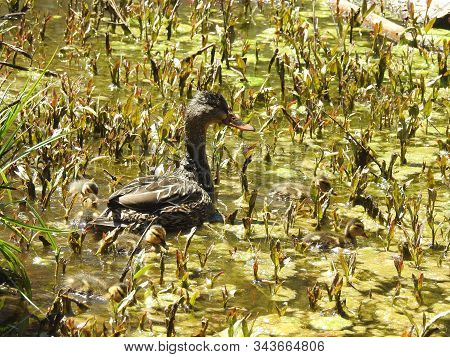 A mama mallard duck, and her baby ducklings, feeding on aquatic plants and insects, in Jenks Lake, in the San Bernardino Mountains, California. poster