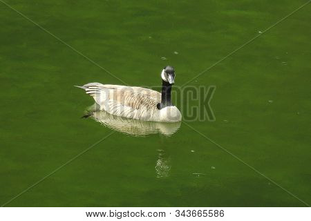 Wild Canada Goose Swimming In The Shallows Of Diablo Lake In The Northern Cascades, Washington State