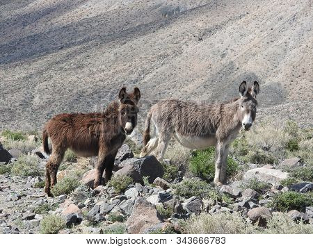 A Couple Of Wild Burros Roaming The Desert, Near The Old Ghost Town Of Marietta, Mineral County, Nev