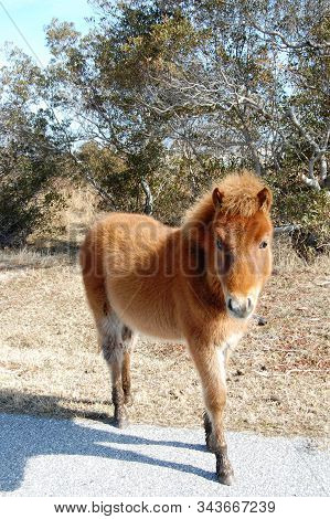 Adorable Foal, Wild Horse, Assateague Island, Worcester County, Maryland.