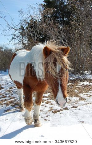 Wild Horse Walking In The Snow, On Assateague Island, Maryland.