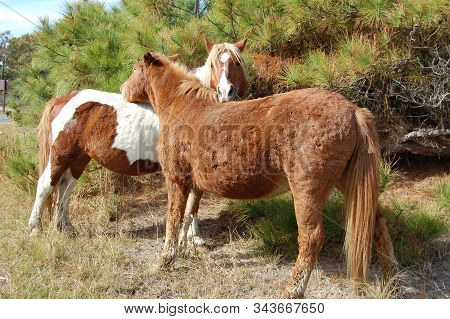 A Pair Of Wild Horses Showing Affection On Assateague Island, Maryland.