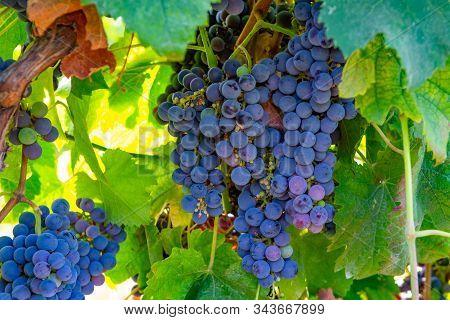 Grape Plant On Vineyard, Growing Red Wine Grapes In Italy, Sirah, Petit Verdot, Cabernet Sauvignon G