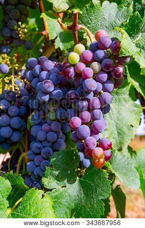 Grape Plant On Vineyard, Growing Red Wine Grapes In Italy