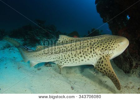 Leopard Shark (also known as Zebra Shark)