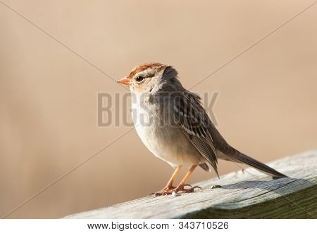 Immature White-Crowned Sparrow sitting on wooden railing in winter sun