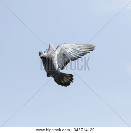 Homing Pigeon Hovering Against Clear Blue Sky