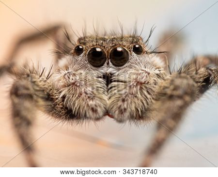 Closeup of a beautiful female Tan Jumping Spider, Platycryptus undatus