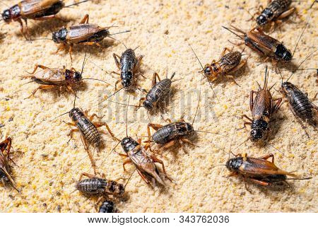 Farm Crickets ,close Up Of Crickets (gryllidae) In Farm,many Crickets Eating Feed.
