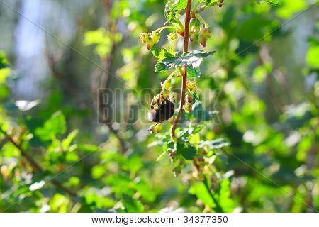 Big bee on spring blooming currant bush poster